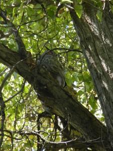 Fair's Owl